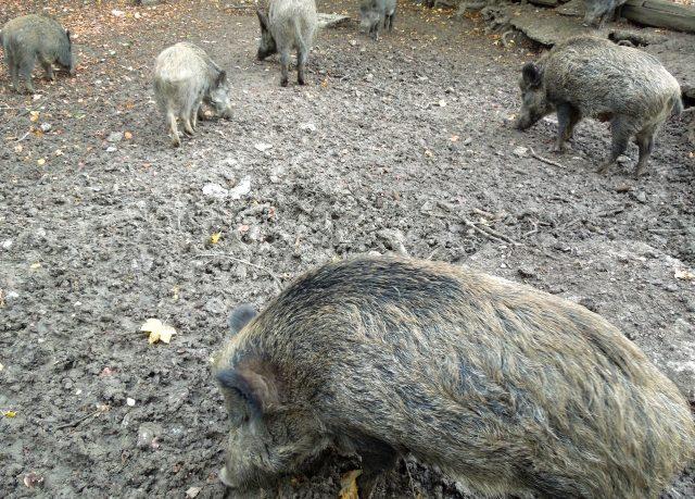 野生の猪が大暴れ