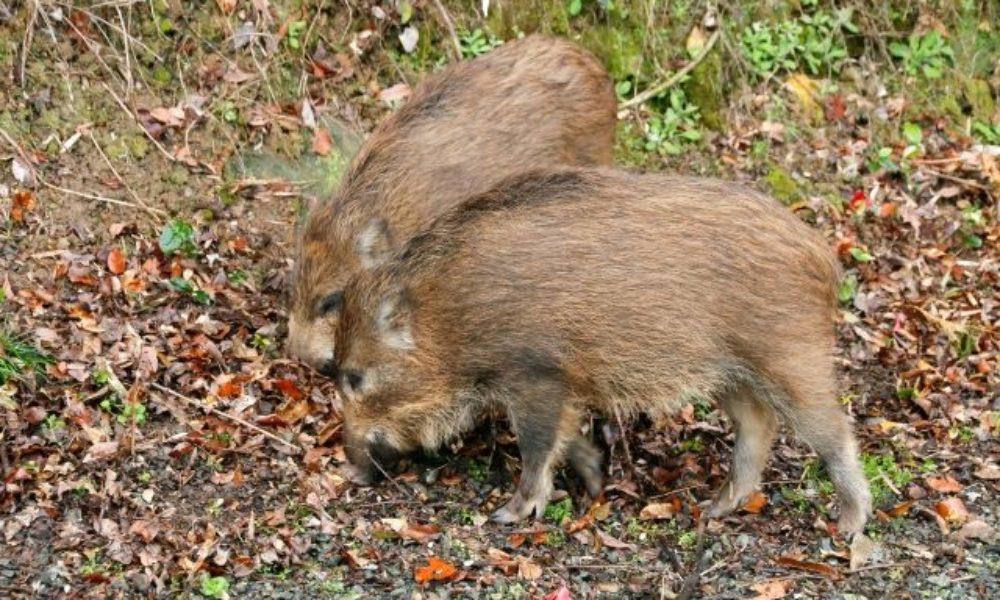 渡良瀬川で野性の猪が餌を巡り大暴れ