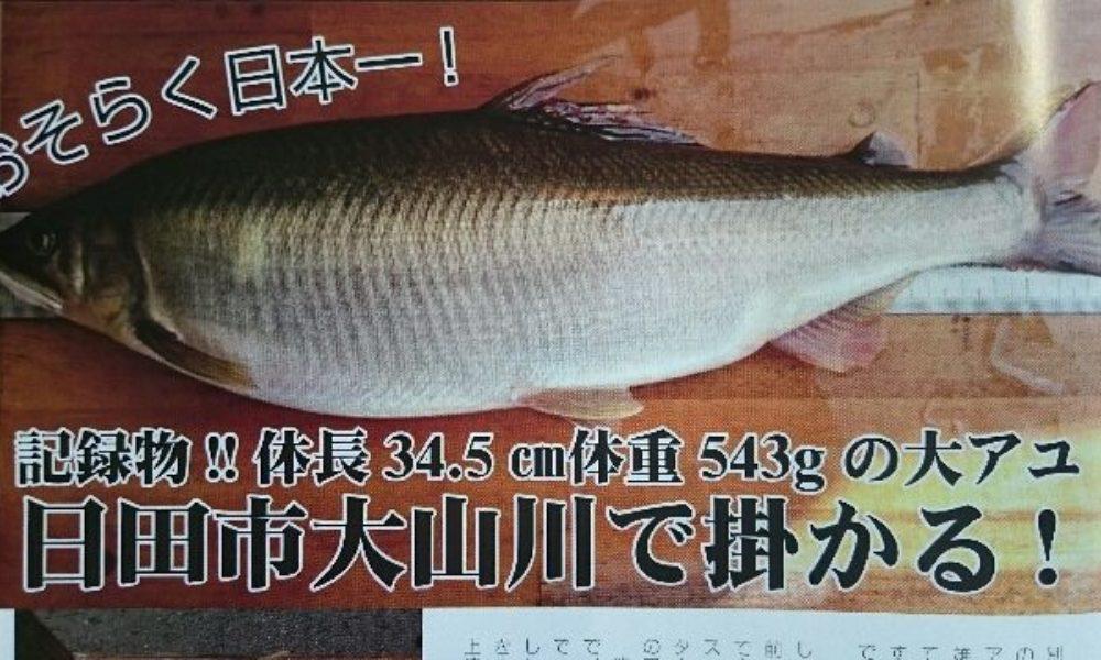 大分県日田市の三隈川で落ち鮎の超巨大アユが刺し網で捕獲