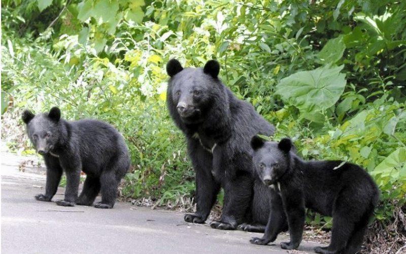 東京青梅の飲食店で野生の熊が冷蔵庫を開けて食べ物を物色
