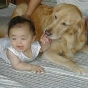 飼い犬のゴールデンレトリバーが生後10ヶ月の女児を噛み殺す事件