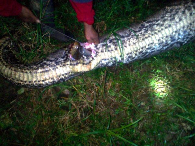 全長が7メートルの巨大なニシキヘビの体内から成人男性の遺体