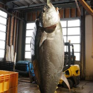 青森県大間町で重さが399キロの巨大なクロマグロが水揚げされた