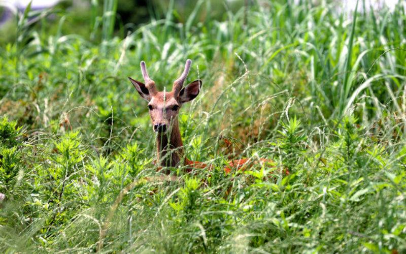 荒川河川敷に迷い込んできた野生の鹿が捕獲され引取先を探す