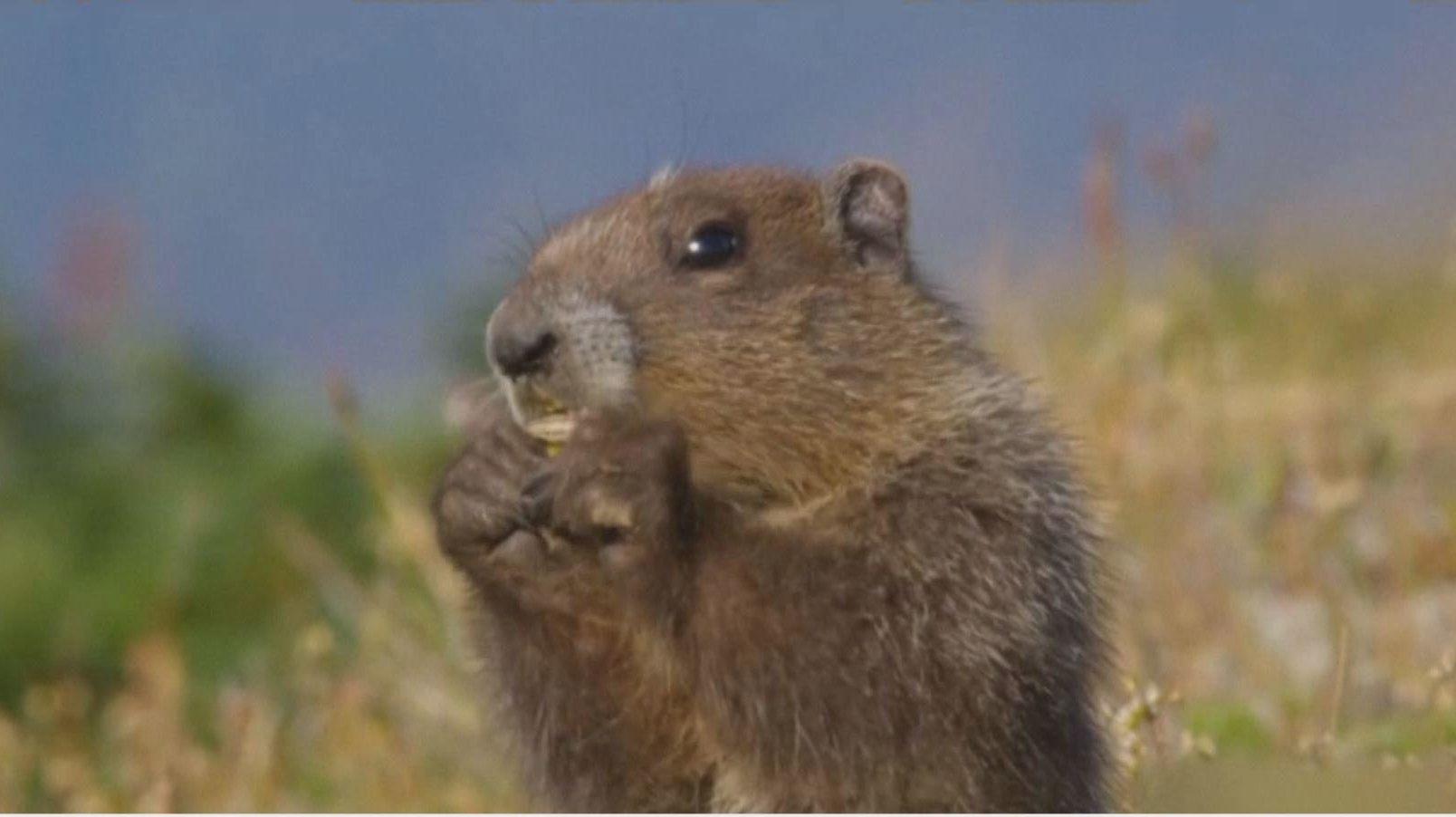 狩猟で捕えたマーモットを食べたモンゴル少年が腺ペストに罹り死亡