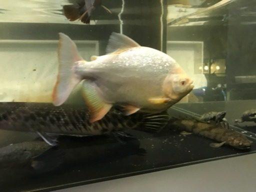 京都府八幡市の木津川で外来魚の怪魚レッドコロソマを捕獲・アルビノコロソマ