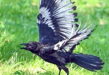 八戸市で突然に色の変色が異るまだらな羽のカラスが出現