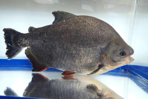 京都府八幡市の木津川で外来魚の怪魚レッドコロソマを捕獲
