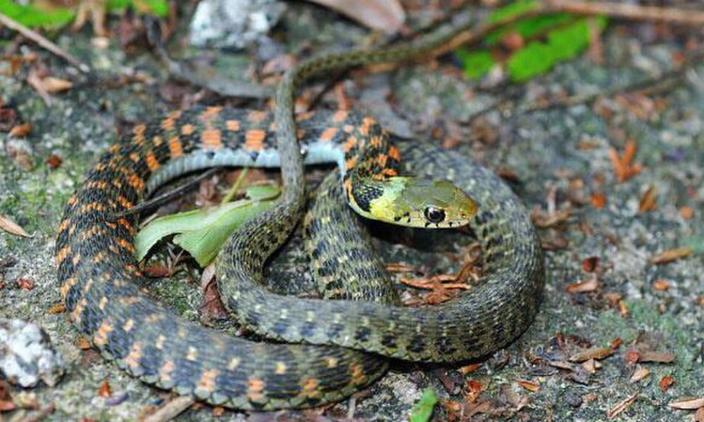 自分からは攻撃をしない蛇のヤマカガシは猛毒を持つ毒蛇