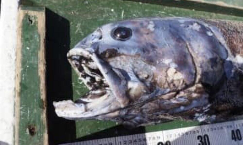 静岡県沖にある駿河湾で全長が1メートルを超える深海魚が発見される