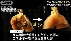 フキノトウに含まれる成分ががん細胞の増殖と転移を有効に抑える効果
